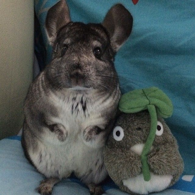 Cutie Chinchilla Poses With Best Friend Http