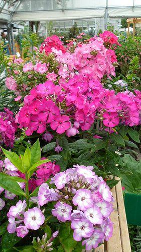 Volcano Phlox Amazing Flowers Easy Garden Plants