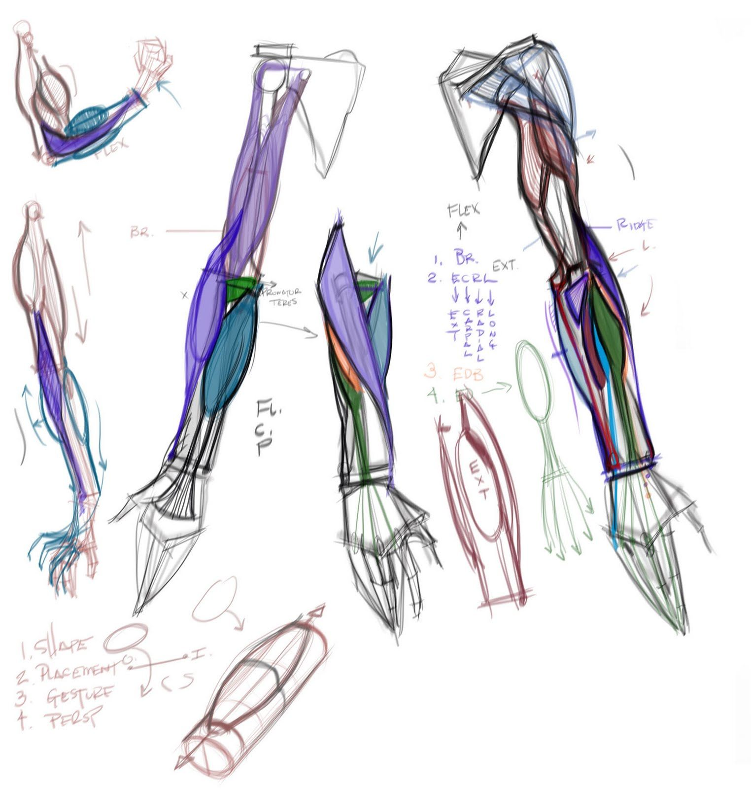 figuredrawing.info news: Arm Lecture Notes 8/23 | ANATOMY ...