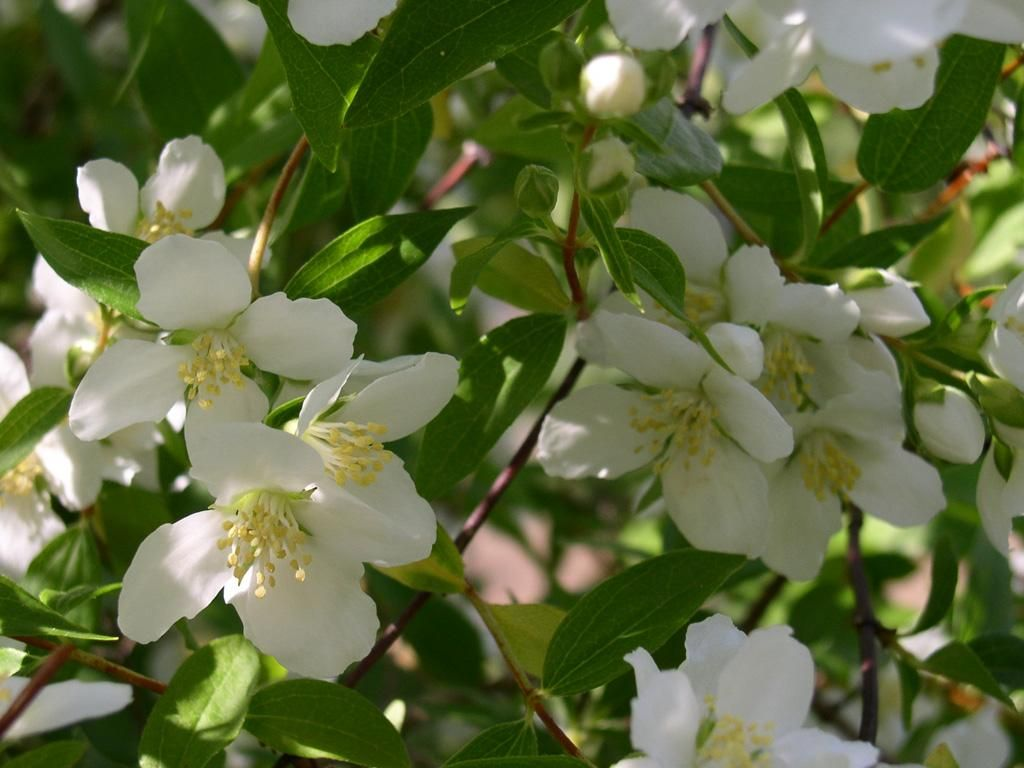 Philadelphus Coronarius Sweet Mock Orange A Great Deer Resistant