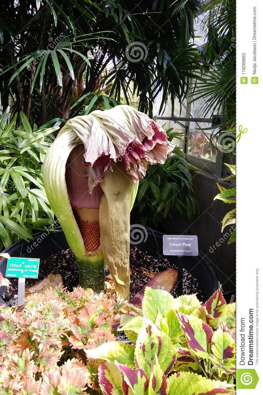 Wilted Corpse Plant Flower Stock Image Image Of Rare 118269663 Planting Flowers Plants Wilted