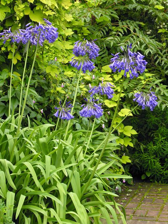 African Lily – Agapanthus | My Climate Change Garden
