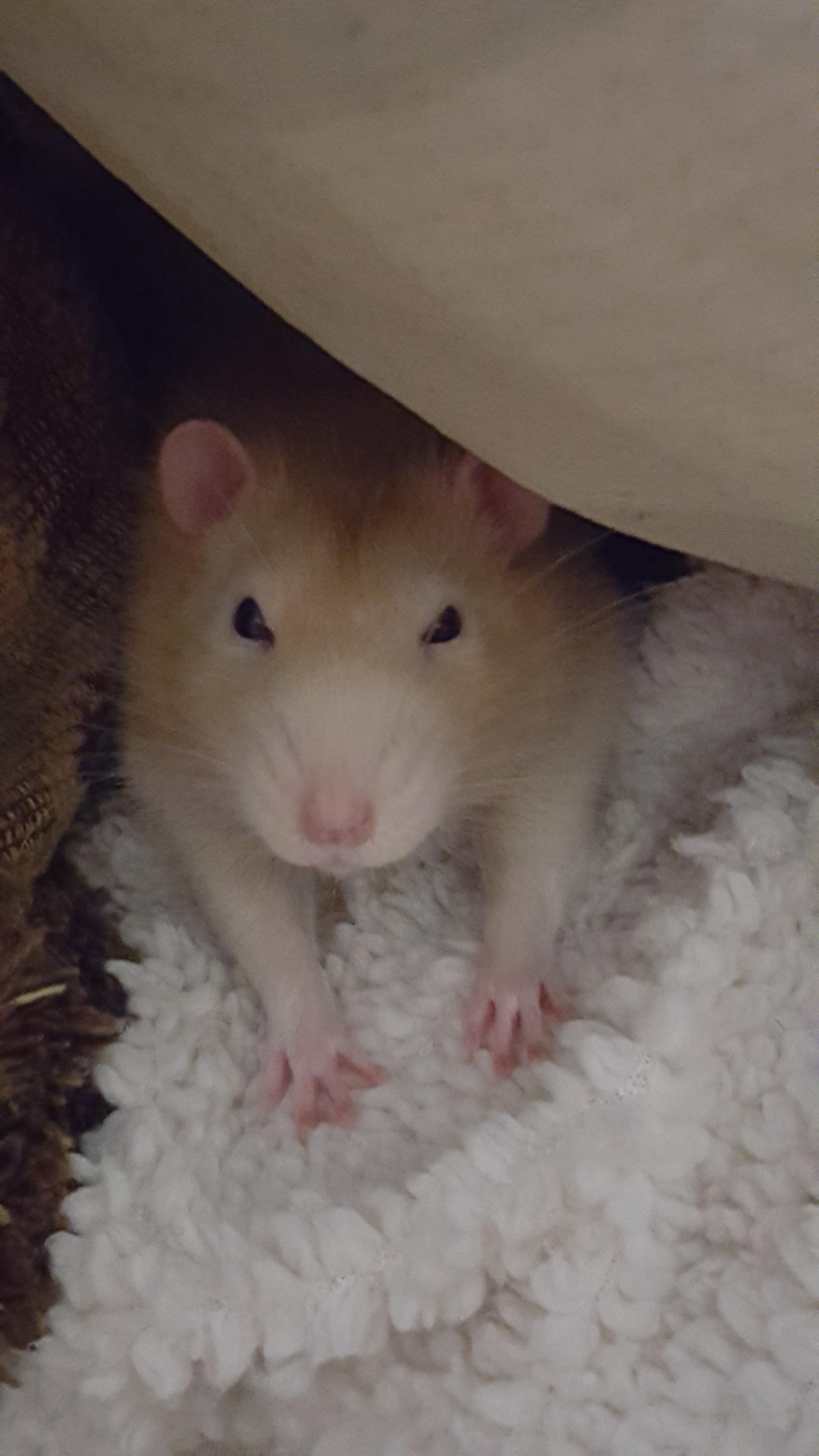 Cinni Looks So Pampered And Spoiled When He Lays With His Arms Out Like This Aww Cute Rat Cuterats Animals For Kids Best Pets For Kids Low Maintenance Pets