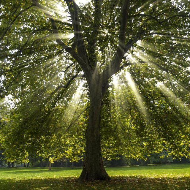What Does The Sycamore Tree Symbolize