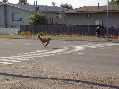 Deer on 5th Avenue, Prince George, BC