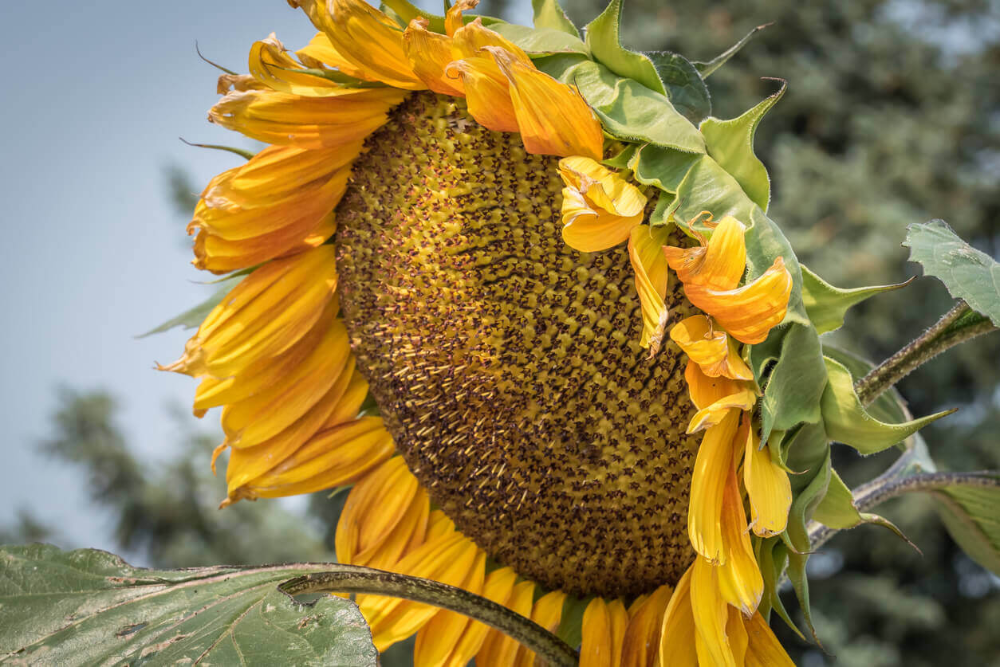 How To Store And Harvest Sunflower Seeds In 2020 Harvesting Sunflower Seeds Sunflower Seeds Easiest Flowers To Grow