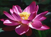 National flower lotus india pinterest lotus india and flower national flower lotus mightylinksfo