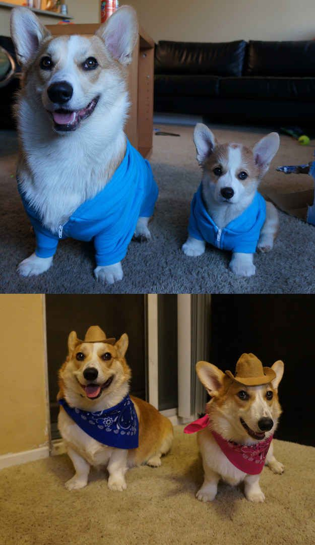 13 Steps To Instantly Improve Your Day Corgi Corgi Facts