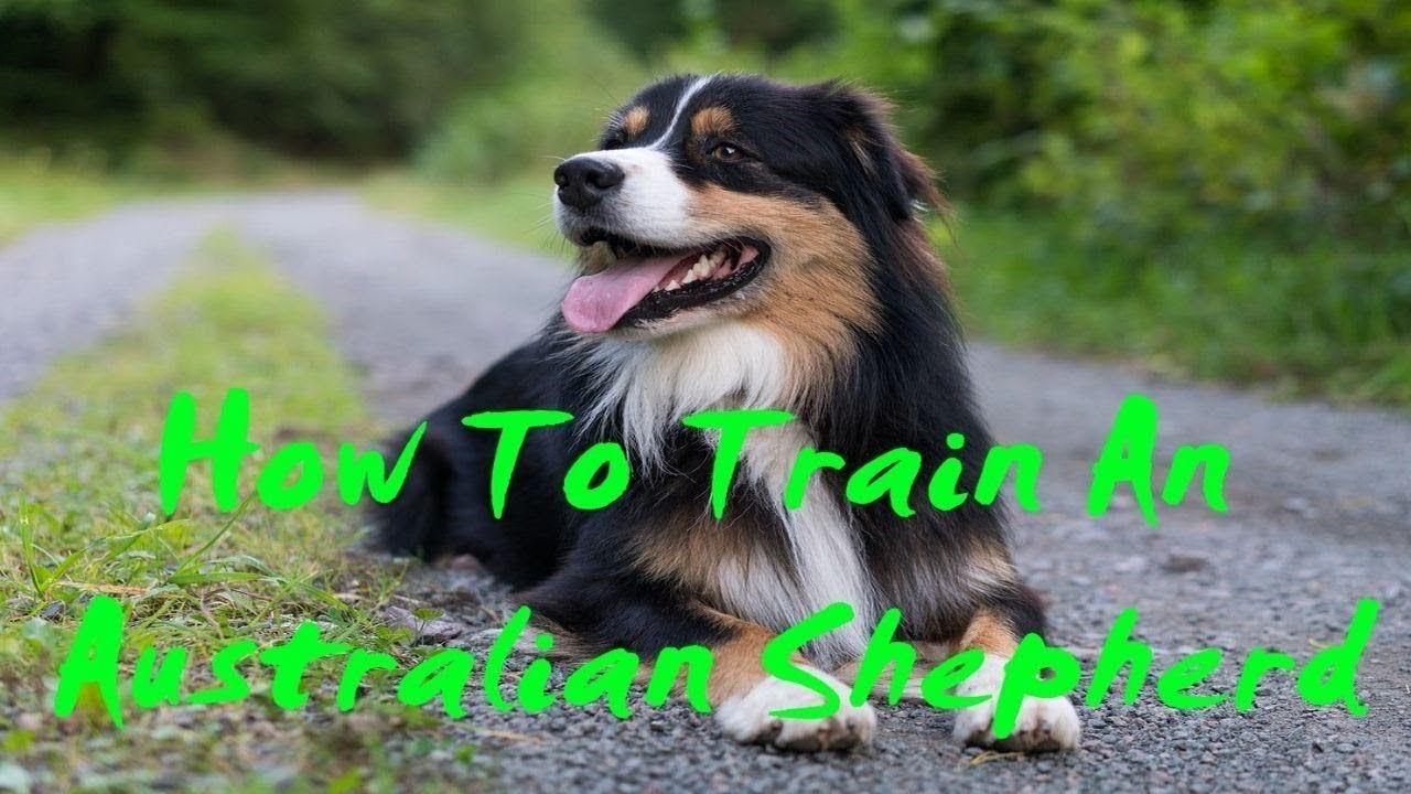 How To Train A Australian Shepherd How To Train A Australian