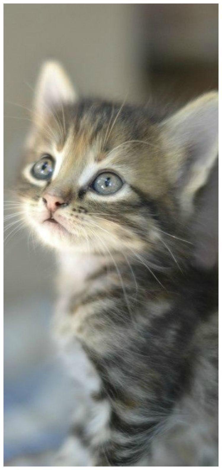 Pin By Carrie Burdine On Animals Kitten Adoption Kittens Cutest