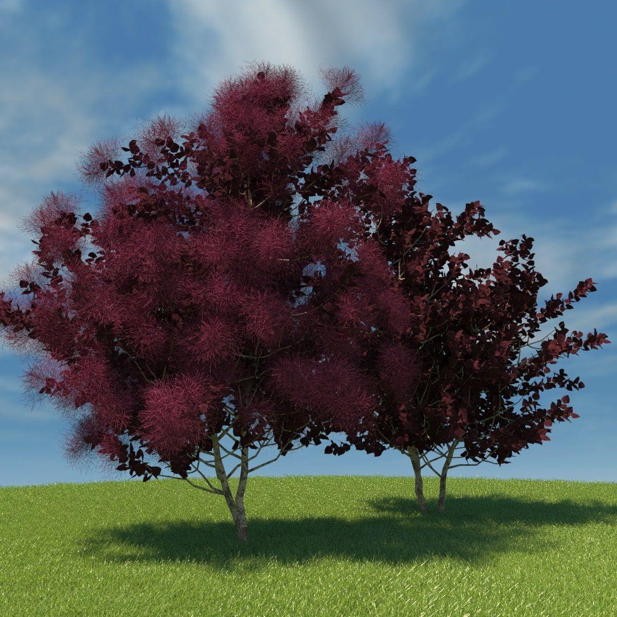 European Smoketree 3D Model - 3D Model