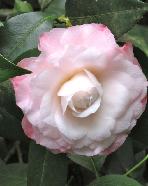 Camellia Japonica Pearl Maxwell U S 1948 White Camellia