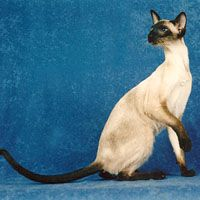 Siamese Orientals Cats Lilac Point Seal Tabby Silver Siamese Seal Point Flame Point Balinese And Tonkinese Tonkinese Cat Kittens Cats And Kittens