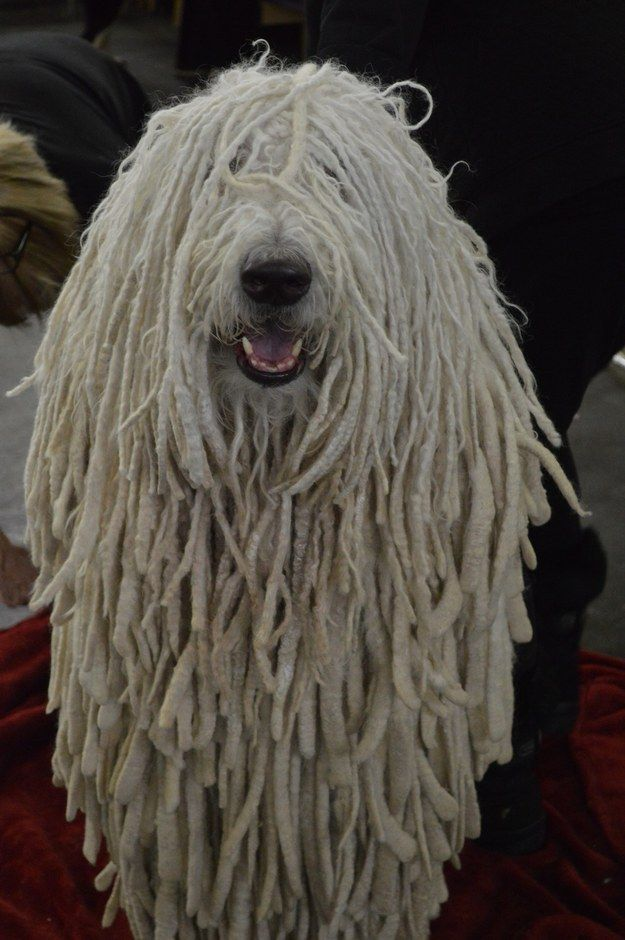 Is This A Komondor Or A Mop Animalsss Dog Breeds That