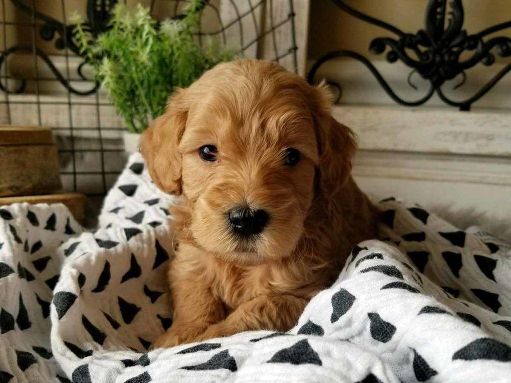 Teacup Goldendoodle Mini Goldendoodle Medium Goldendoodles Mini Goldendoodle Puppies Mini Goldendoodle