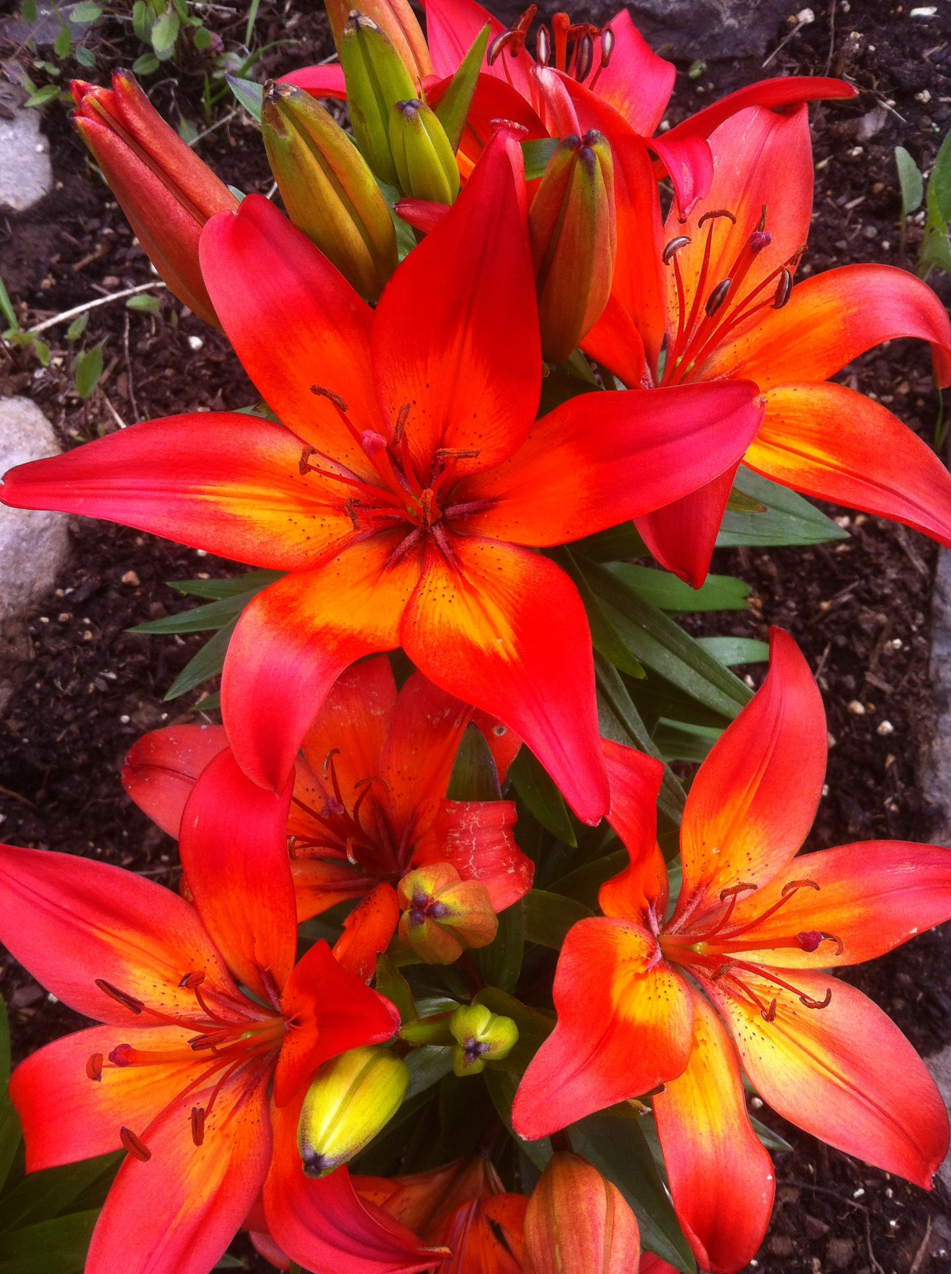 I Love These Lilies Flowers I Love Pinterest Flowers Gardens