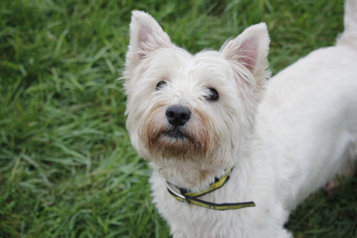 Taffy Dogs Trust Dog School West Highland Terrier