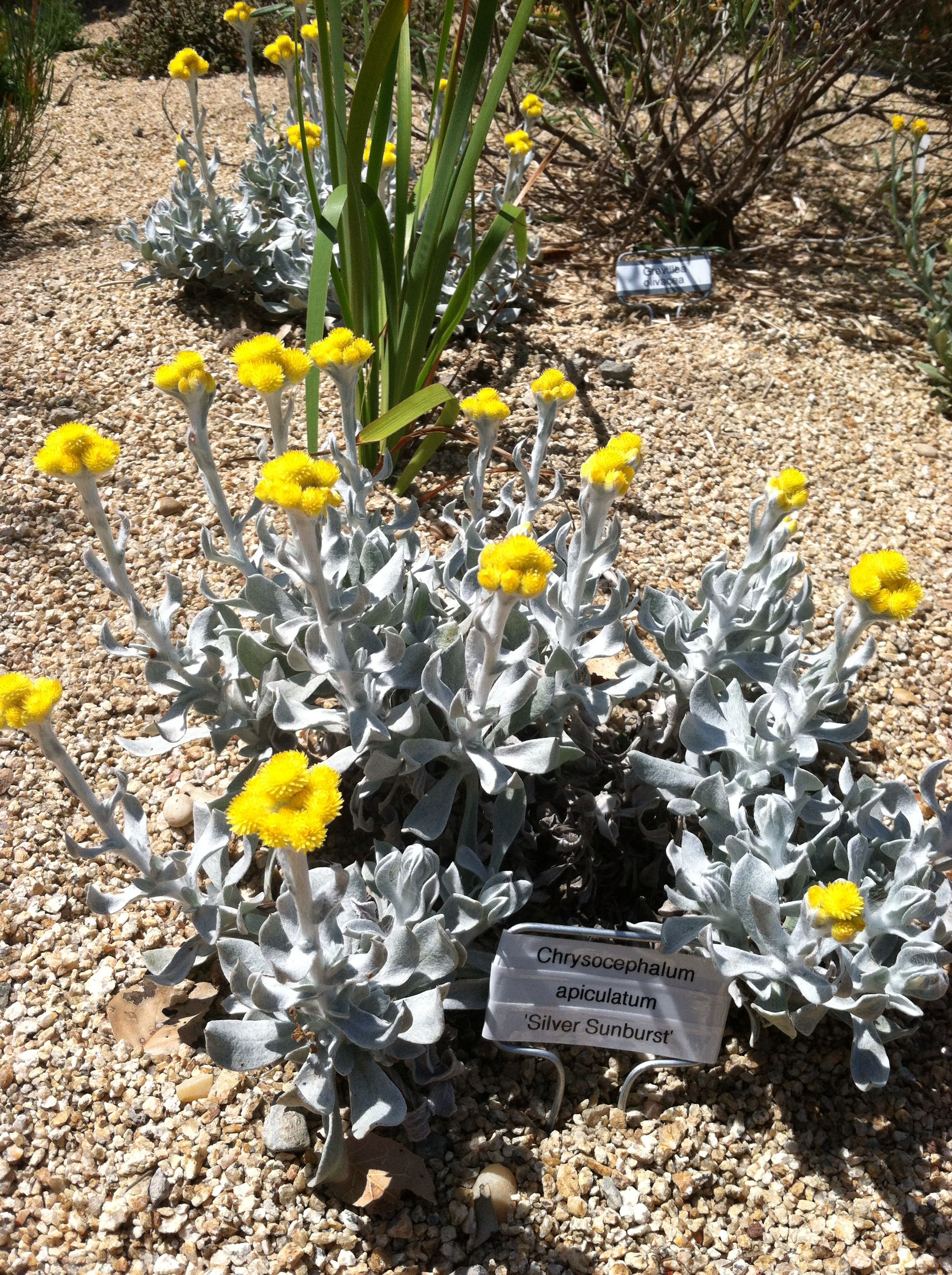 Chrysocephalum Apiculatum Silver Sunburst (Common Everlasting) - Plants For Shade