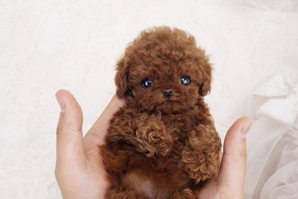 Siblings Red Micro Poodle Cute Teacup Puppies Teacup Poodle