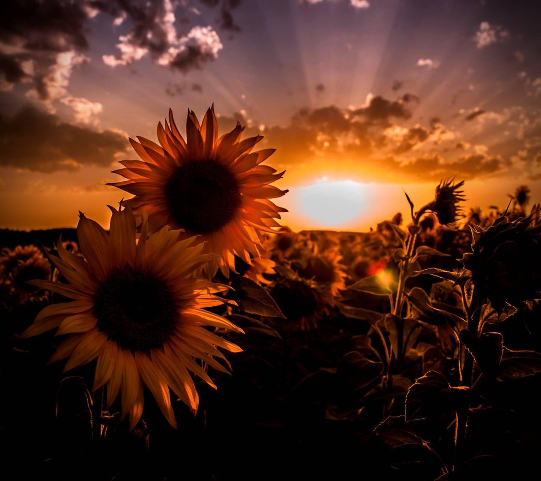 Sunflowers | Sunflower wallpaper, Beautiful flowers, Sunflower