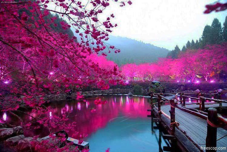 Lago con ciliegi in fiore