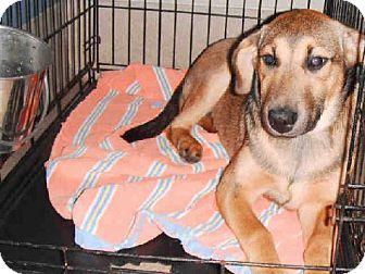 Raleigh, NC German Shepherd Dog Mix. Meet IVEY, a puppy