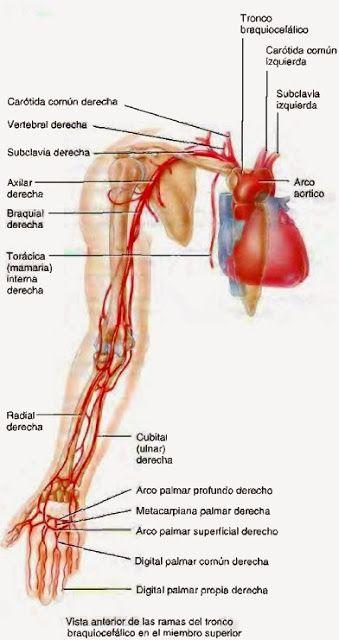 Artérias - Sistema Circulatório ~ temas para estudo geral anatomia ...