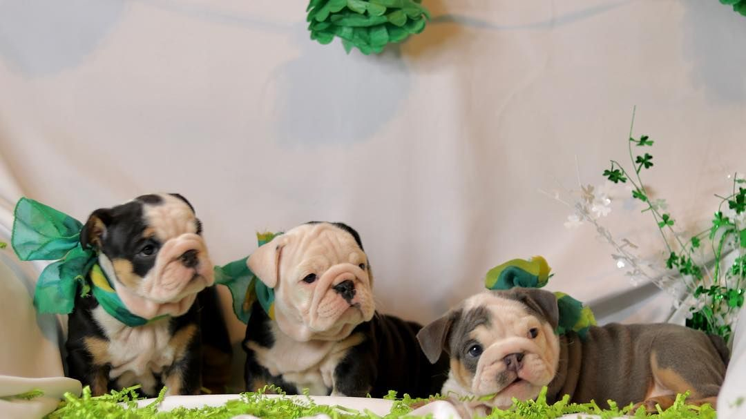 First Class Bulldogs On Instagram Happy St Patrick S Day