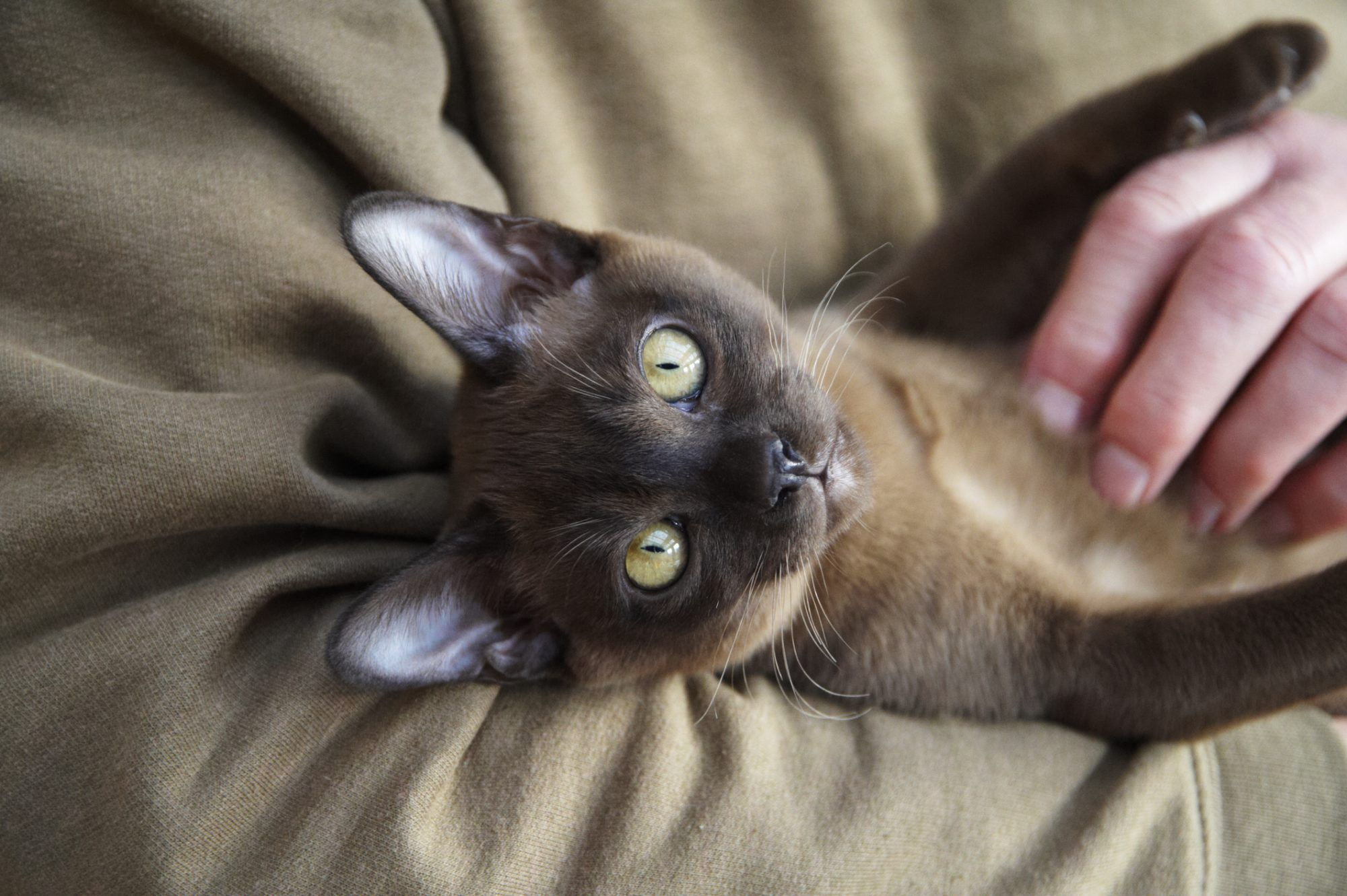 The 10 Most Affectionate Cat Breeds #catbreeds