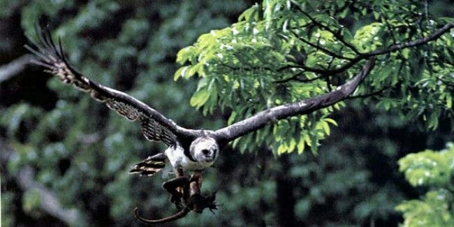 Esta águila se abalanza en picada desde la copa de un árbol para atrapar a un mono en una rama. Con un solo apretón de sus poderosas garras lo aplasta hasta matarlo.