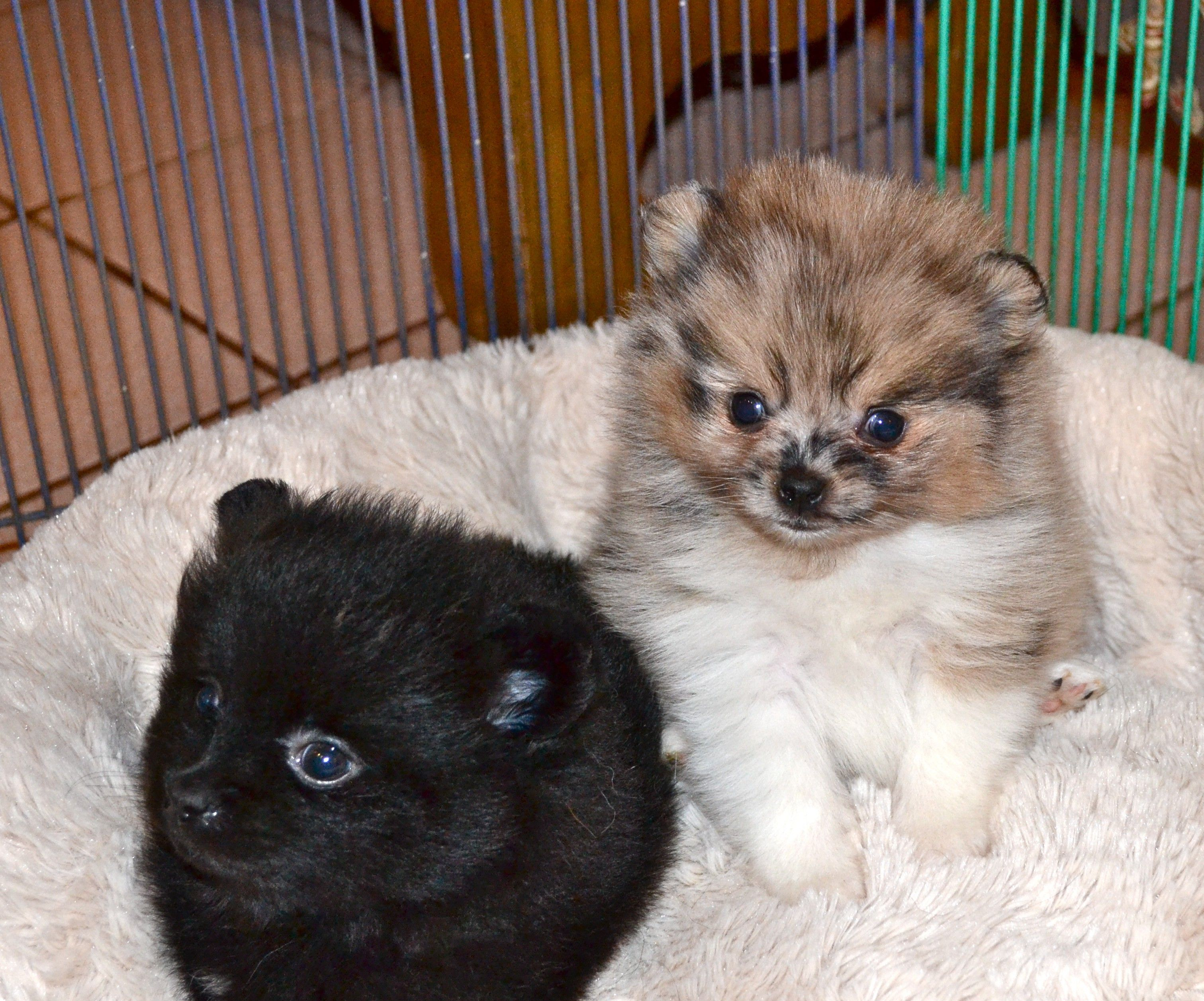 Tri Color Pomeranian Puppies Through the thousands of