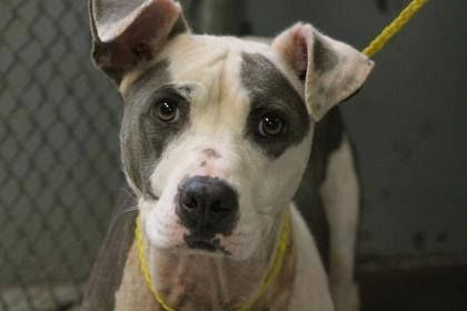 NAME: Kella  ANIMAL ID: 29309329  BREED: Pit mix  SEX: female  EST. AGE: 3 yr  Est Weight: 47 lbs  Health: heartworm pos  Temperament: dog friendly, people friendly.  ADDITIONAL INFO: RESCUE PULL FEE: $49  Intake date: 8/6  Available: Now