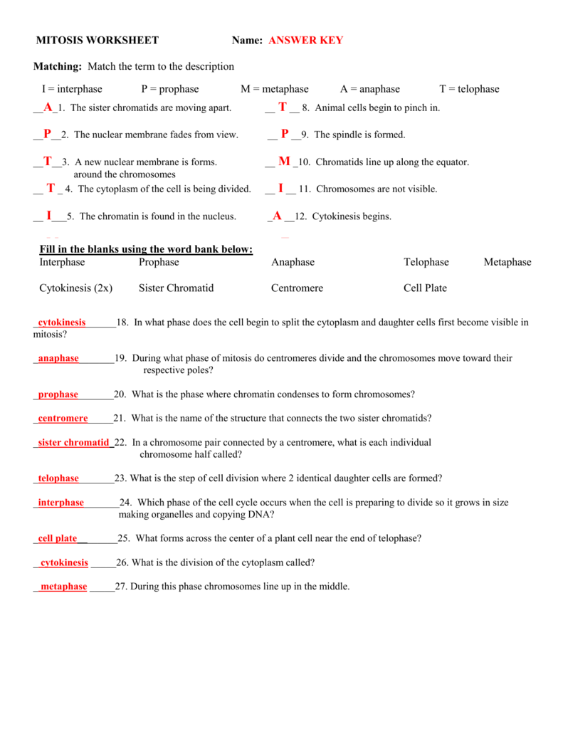 Meiosis Matching Worksheet Answers Key - worksheet