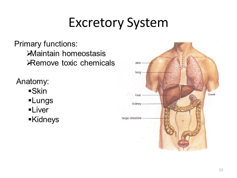 Image result for excretory system urinary tract lungs
