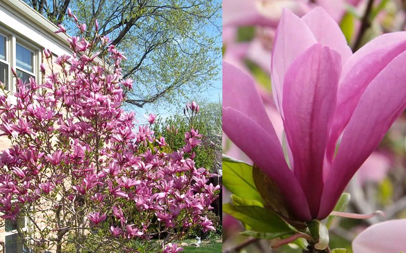 A Member Of The Little Girl Group Of Spring Blooming Hybrid Magnolias The Jane Magnolia Is A Slow Growing Very Jane Magnolia Flowering Trees Magnolia Trees