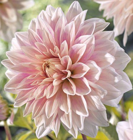Soft Pink Dahlia Bulb Flowers Dahlia Dahlia Flower