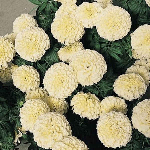 Marigold vanilla improved hybrid soft creamy white fully double marigold vanilla improved hybrid soft creamy white fully double 25 3 inch mightylinksfo