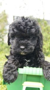 Cavoodle Puppies For Sale Pines Pets Puppies Puppies For Sale Puppy Breeds