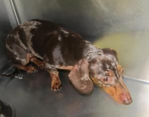 Adopt Lexi On Adoptable Dachshund Dog Dachshund Rescue Hound