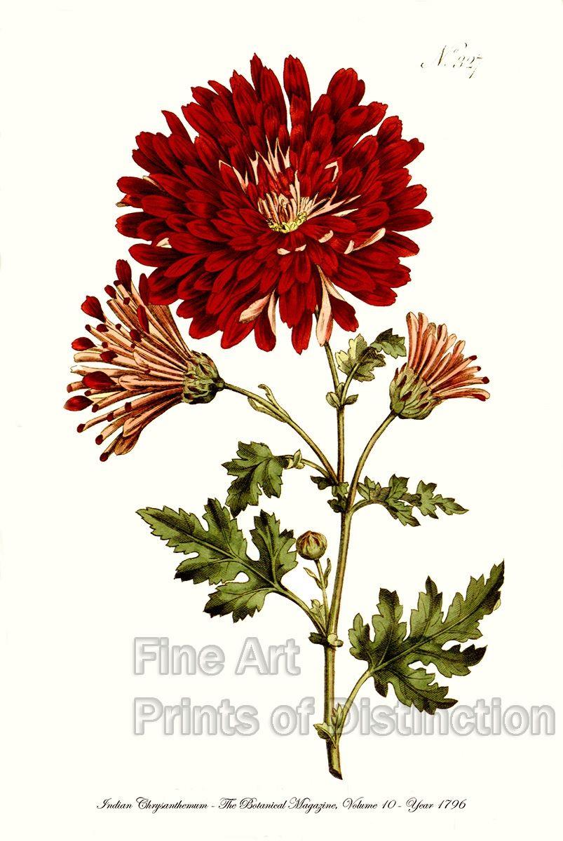 Pin by Everton Lazzaris on Pintura | Pinterest | Chrysanthemums and ...