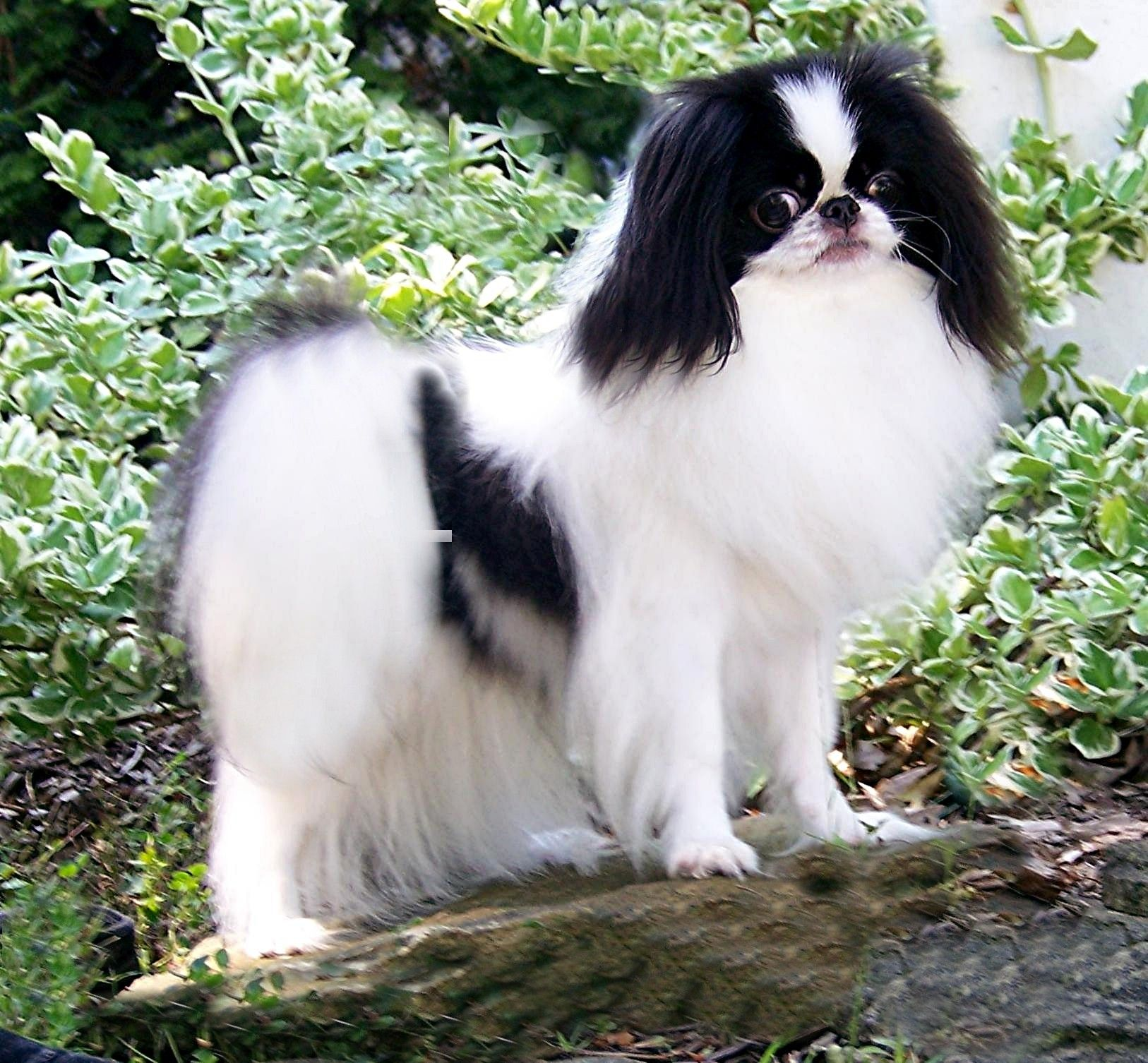 Japanese Chin Dog Breed Information American Kennel Club Japanese Chin Dog Japanese Chin Puppies Japanese Chin