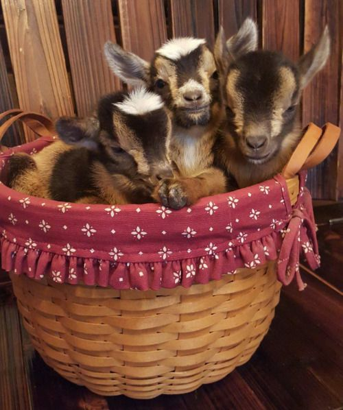 Hi Yes I D Like To Order Three Baby Goats To Go Cute Goats Animals Beautiful Baby Goats