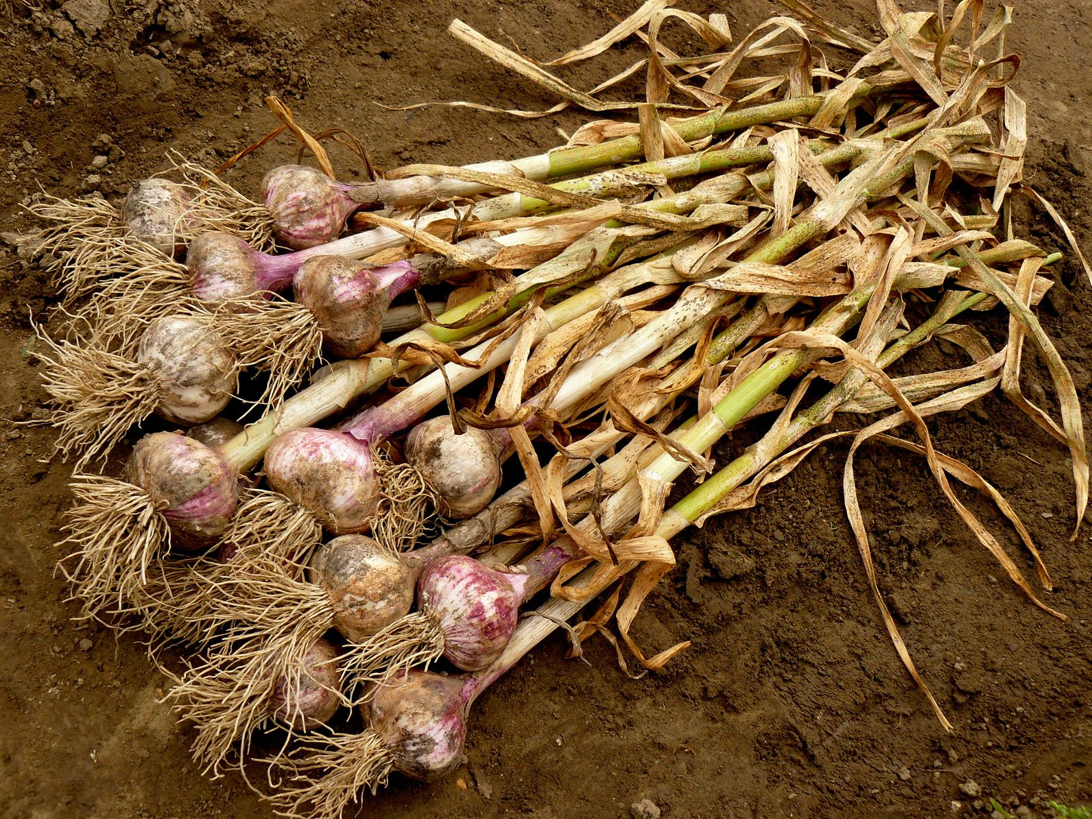 Anyone Can Grow Garlic - It\'s Easy   Farmers almanac, Garlic and Farmers