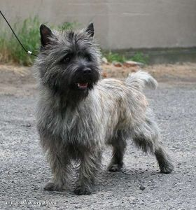 Cairn Terrier Used For The Wizard Of Oz Dog Toto Cairn