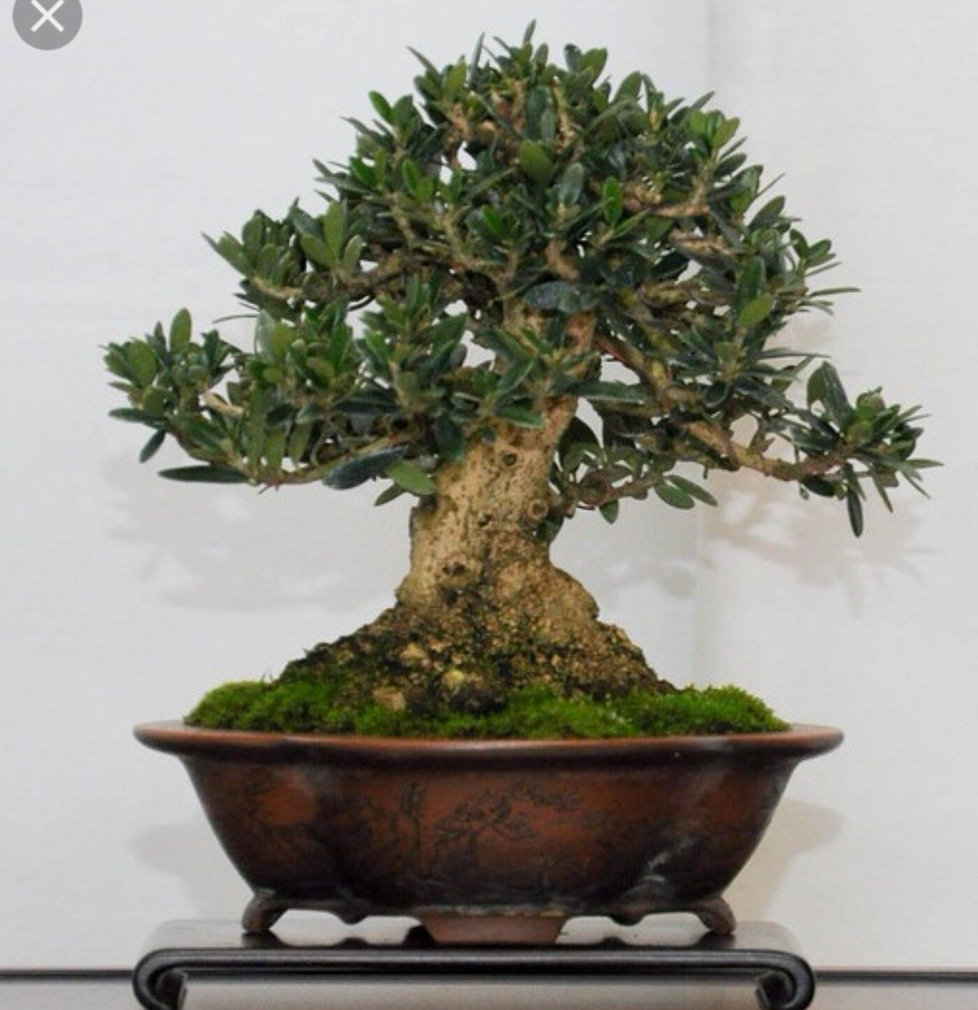 Pin by Bonsai Student on e) Pictures Olive Bonsai tree