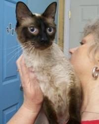 Stardust is an adoptable Siamese Cat in Picayune, MS. Stardust was brought in along with her 3 kittens because her owner could not care for her. She and kittens were kept in a loving foster home until...