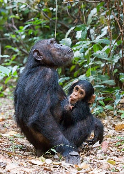 I D Love To Hear Your Thoughts Get To Know Gombe Stream National Park Http Eco Africaclimbing Blogspot Com 2014 05 Get To Kn Animals Chimpanzee Baby Animals