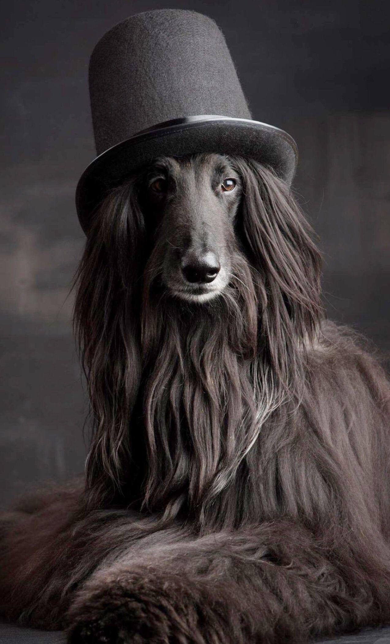 アフガンハウンド」のアイデア 11 件 | アフガンハウンド, 美しい犬, いぬ
