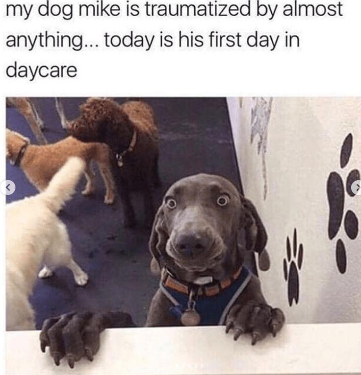 Bringen Sie Die Guten Zeiten Mit Diesen 26 Doggo Memen Funny Dogs Bringen Die Diesen Doggo Dogs Funny Animals Funny Animal Memes Cute Funny Animals