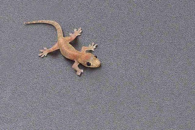 Okinawa Common House Gecko Images In 2020 Gecko Okinawa Image